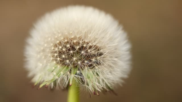 春の花は微風で緑の草のタンポポ、マクロビュー、4k スローモーション。 - ふわふわ点の映像素材/bロール