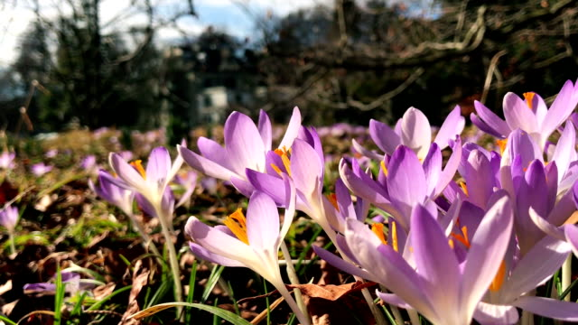 vidéos et rushes de fleurs de printemps violet crocus - crocus