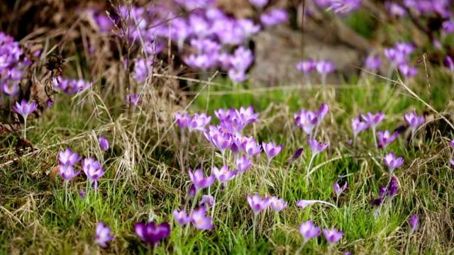 spring flowers snowdrops crocuses video