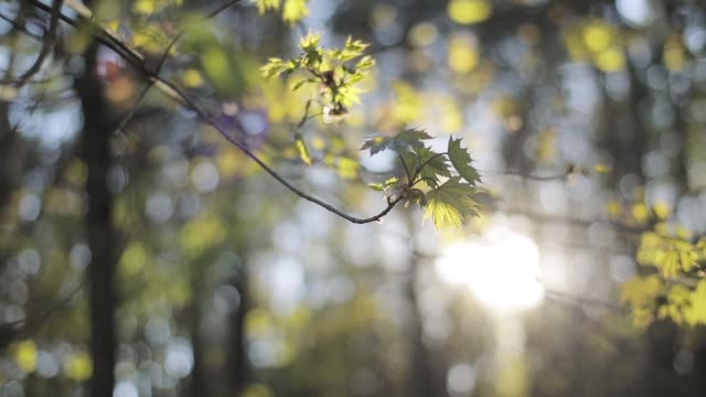 Spring forest background camera sliding through new green fresh leaves backlit warm sunshine defocused. Sun rays in woods park branches close up. Calm low angle view tranquility nature beauty video