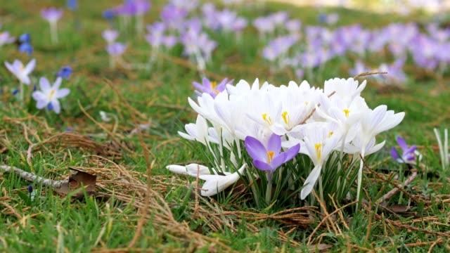vidéos et rushes de fleurs fraîches de printemps. crocus et lis de la vallée. - crocus