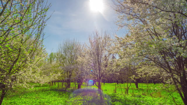 Spring garden, cherry blossoms and the sun, tilt time-lapse video