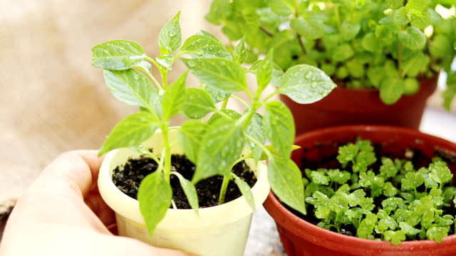 Spring gardening motion concept. Fresh pepper in pot on the windowsill. Seedling in the pots, hank of rope, gardening tools, water drops. video