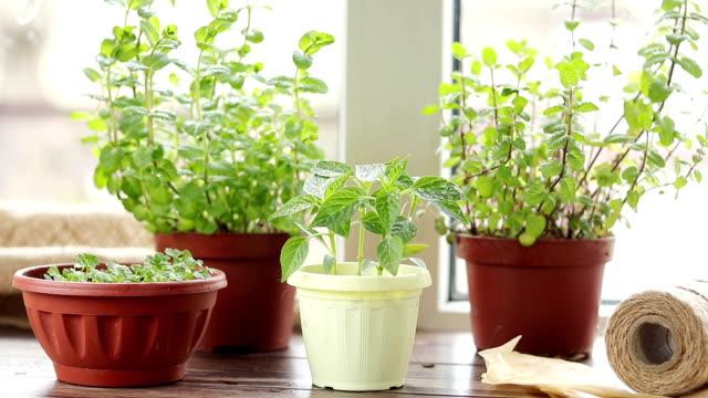 våren trädgårdsskötsel motion koncept. färsk paprika i kruka på fönsterbrädan. plantor i krukor, hank av rep, trädgårdsredskap, vatten droppar. - basilika ört bildbanksvideor och videomaterial från bakom kulisserna