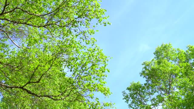 vídeos de stock, filmes e b-roll de primavera verde floresta - bétula