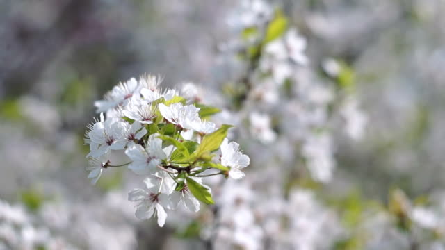 Spring in the Fruit Orchard video