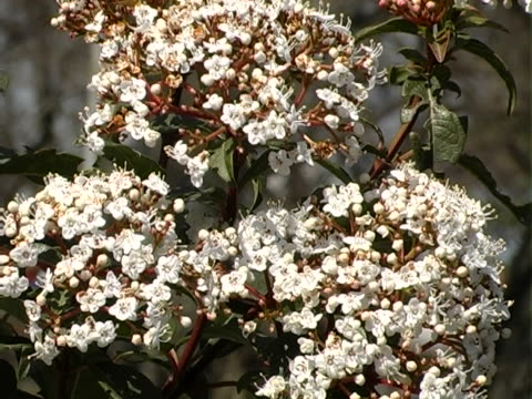 spring inflorescence - blomsterarrangemang bildbanksvideor och videomaterial från bakom kulisserna