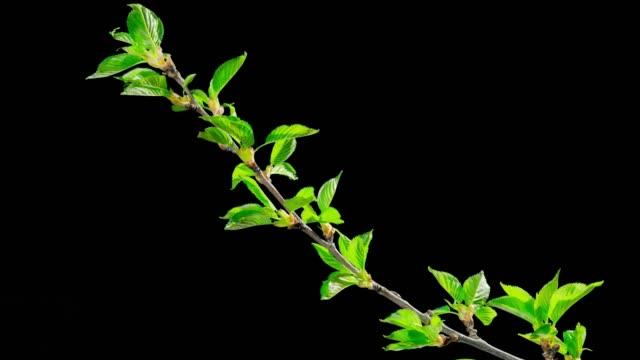 våren lämnar bloom, time-lapse med alfakanal - gren plantdel bildbanksvideor och videomaterial från bakom kulisserna