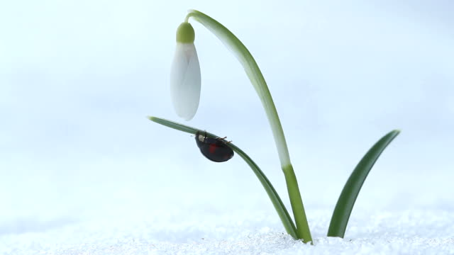 Spring macro footage with snowdrop flower and ladybug video