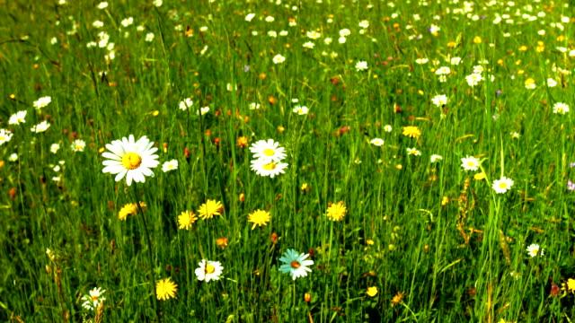 vídeos y material grabado en eventos de stock de spring meadow travelling (4 k uhd a/hd) - flor silvestre