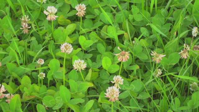 Spring meadow with clovers
