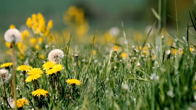 spring meadow with dandelions spring meadow with dandelions in fresh breeze, tranquil springtime countryside natural scene dandelion stock videos & royalty-free footage