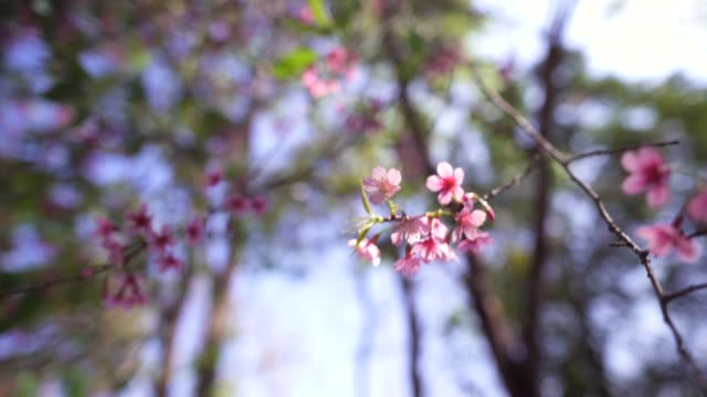 spring nature,bloom pink flowers and bright skies - albicocco video stock e b–roll