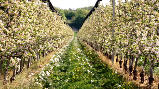 HD DOLLY: Spring Orchard video