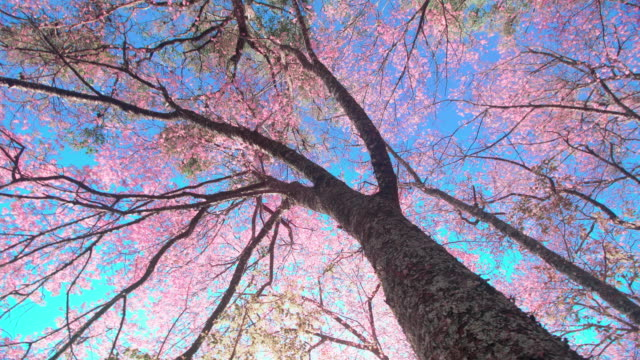 Spring Pink Cherry Blossoms in Chiang mai Thailand