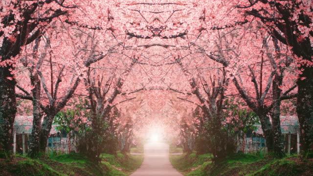 vídeos de stock e filmes b-roll de spring pink cherry blossoms in chiang mai - maio