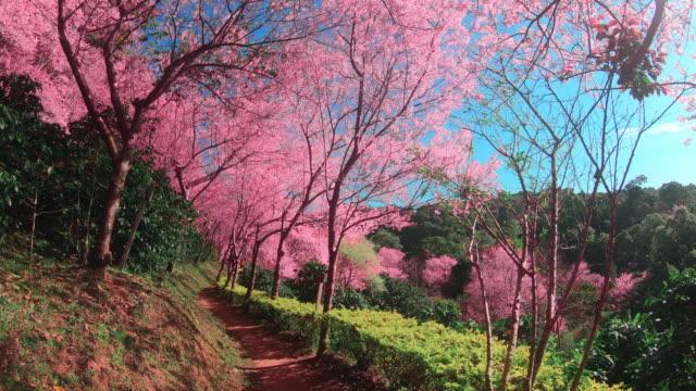 spring pink cherry blossoms i chiang mai - maj bildbanksvideor och videomaterial från bakom kulisserna