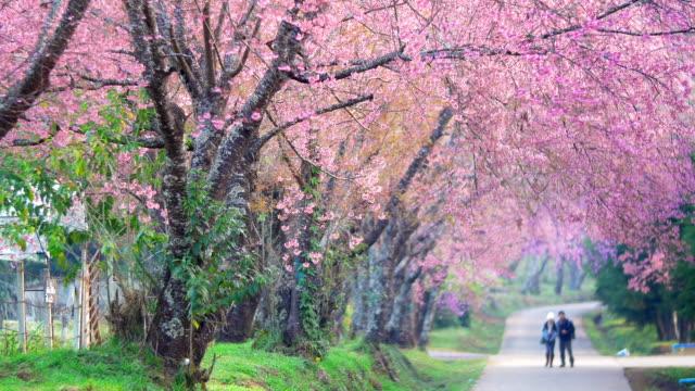 vídeos de stock e filmes b-roll de primavera flores de cereja rosa - passagem de ano