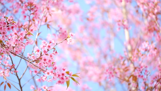 Spring Pink Cherry Blossoms. video
