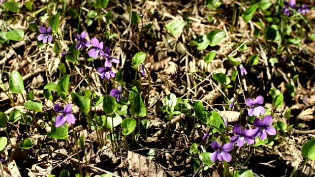 spring primroses violets grew from last year's foliage video