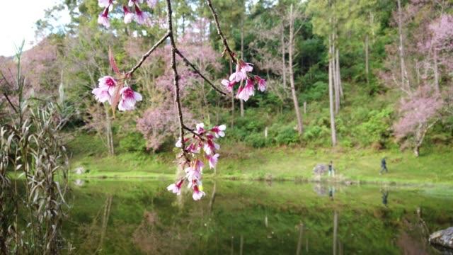 bahar sakura cherry blossom. pembe çiçek sukura çiçek - süslü püslü stok videoları ve detay görüntü çekimi