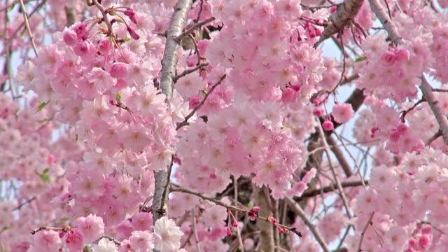 Spring scene: full blooming of pink weeping cherry flowers video