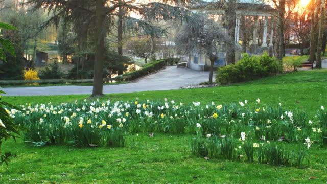 Spring season : daffodil blossom in  public park video