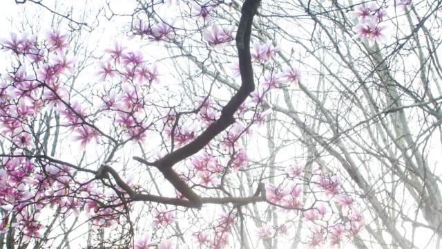 Spring season : magnolia blossom in public park at sunset video