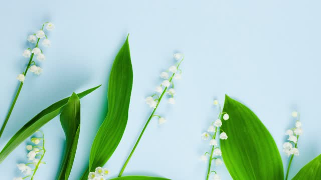 Spring small fragile forest white lilies of the valley with green leaves lie on a pastel blue background with copy space, template for spring holidays. View from above. Slow motion 4k