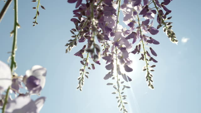 vídeos de stock e filmes b-roll de dof slow motion close up: spring sun shining through blooming wisteria flowers - violeta flor