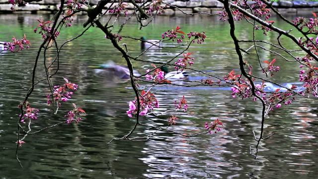 Spring time : cherry blossom freshly open flowers video