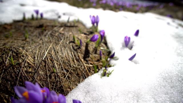vidéos et rushes de printemps- premiers fleurs de crocus dans la neige - crocus