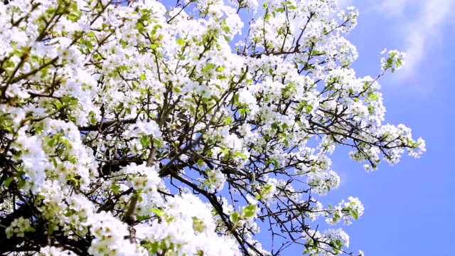 Spring Tree Blooming Branches Waved by Wind Crane Shot HD video