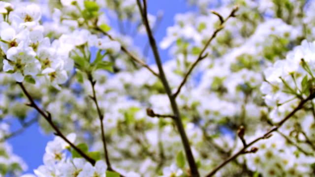 Spring Tree Blooming Branches Waved by Wind HD video