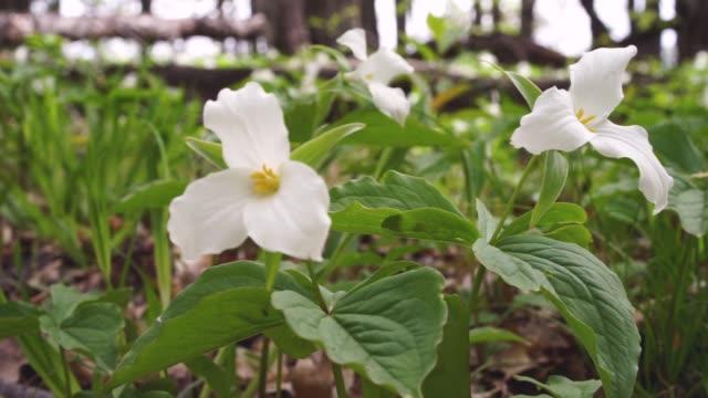 spring trillium wildflowers - trillium video stock e b–roll