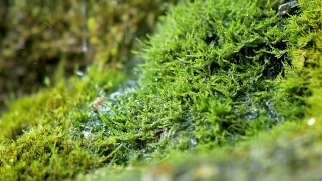 Spring water dribbles on moss in slow motion video