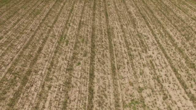 Spring wheat field early video