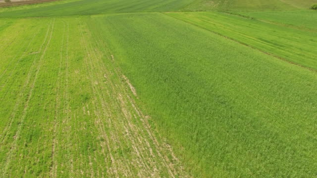 Spring wheat field video