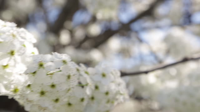 Spring White Cherry Tree Blossoms Blowing in the Breeze