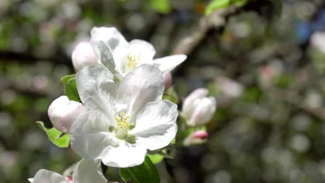 Spring white flowers on a branch of apples in the afternoon video
