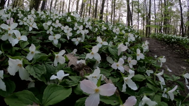 spring white trillium wildflowers - trillium video stock e b–roll