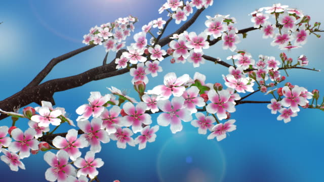 stockvideo's en b-roll-footage met spring_cherry blossom - bloemhoofd
