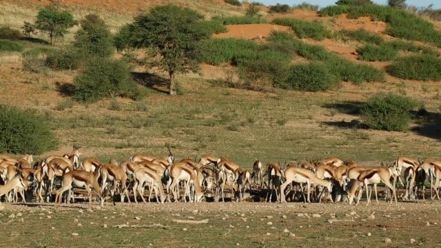 vidéos et rushes de antilopes springbok (antidorcas marsupialis) à un point d'eau, désert du kalahari - plan d'eau