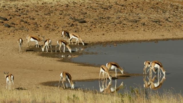 vidéos et rushes de antilopes de springbok à un point d'eau, parc national de zèbre de montagne, afrique du sud - plan d'eau