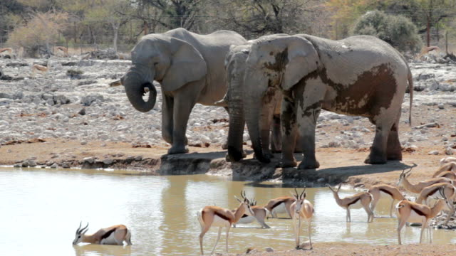 Springbok drinking at watering hole video