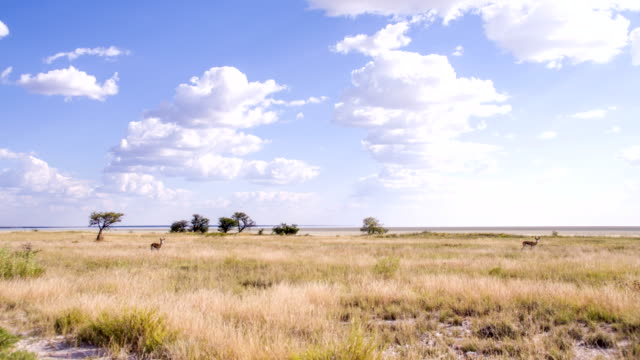 WS Springbok Gazelles In Namibian Savannah video