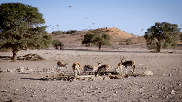 Springboks and Birds at waterhole, SlowMotion video