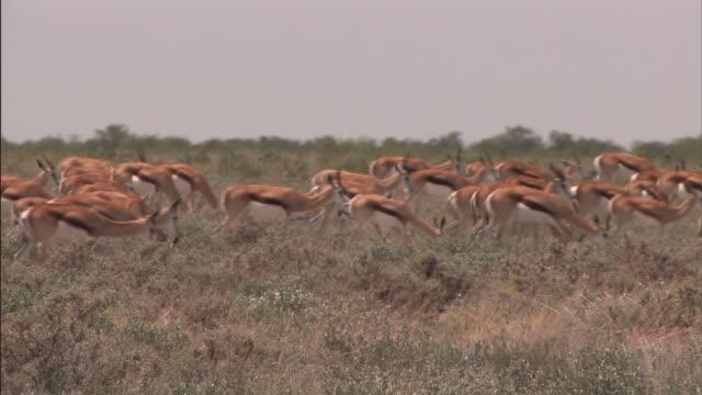 Springboks in the Kalahari video