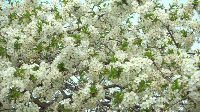 春、咲く桜が美しい。 - アプリコット点の映像素材/bロール