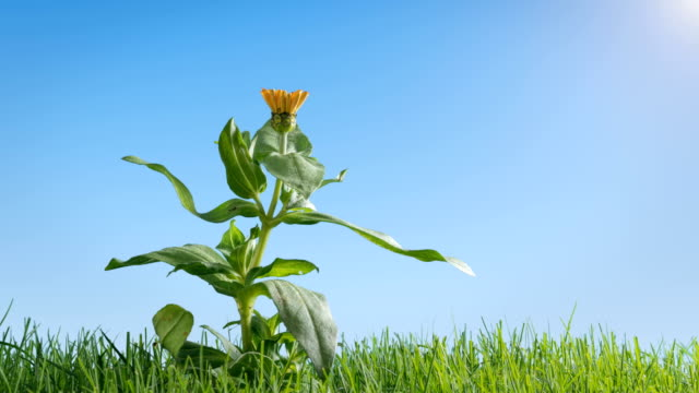 Springtime Flower Growing in Perfect Grass Lawn Time Lapse video